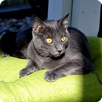 Domestic Shorthair Cat for adoption in Florence, Kentucky - Otis