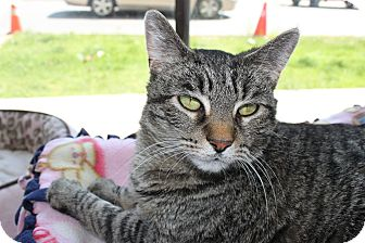 Domestic Shorthair Cat for adoption in Chicago, Illinois - Dorothy