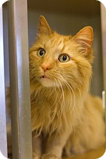 Domestic Longhair Cat for adoption in Grayslake, Illinois - Russell