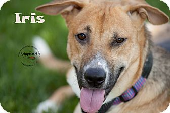Shepherd (Unknown Type) Mix Dog for adoption in La Crosse, Wisconsin - Iris