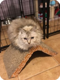 Himalayan Cat for adoption in Tracy, California - Poofa