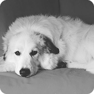 Great Pyrenees Dog for adoption in Naperville, Illinois - Belle