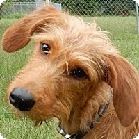 Irish Terrier Mix Puppy for adoption in Westminster, Colorado - Portia