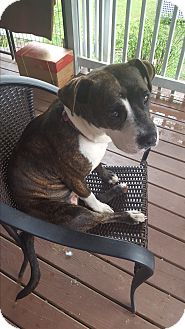 Pit Bull Terrier/American Pit Bull Terrier Mix Dog for adoption in McMinnville, Tennessee - Dallas
