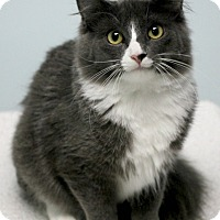 Domestic Longhair Kitten for adoption in Montclair, New Jersey - Fox and Hound