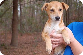Dachshund/Chihuahua Mix Puppy for adoption in Elmsford, New York - Ike