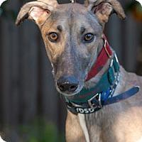 Adopt A Pet :: Razz - Walnut Creek, CA