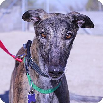 Greyhound Dog for adoption in Tucson, Arizona - Beau