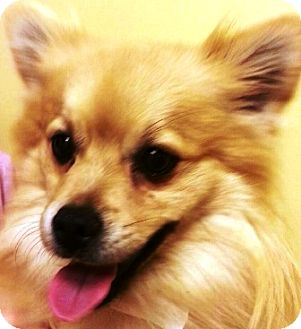 Pomeranian Dog for adoption in Oswego, Illinois - Butterball