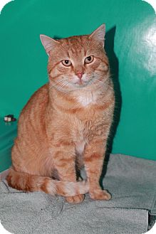 Domestic Shorthair Cat for adoption in Attica, Indiana - Tom