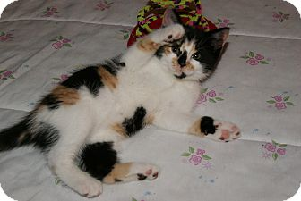 Calico Kitten for adoption in Trevose, Pennsylvania - Cookie