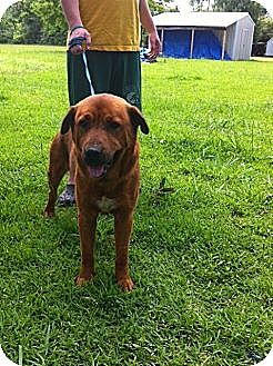 Rottweiler/Golden Retriever Mix Dog for adoption in Baton Rouge, Louisiana - Hebert