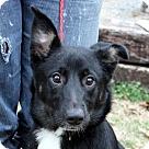 Adopt A Pet :: Gloria T~B wonderful girl