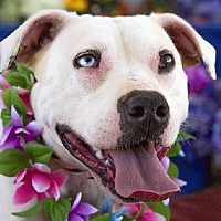 Adopt A Pet :: Blue - Acton, CA