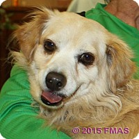 Dachshund/Pomeranian Mix Dog for adoption in Madera, California - Petey 1577/VSP/Bay Area Foster