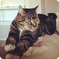 Adopt A Pet :: Rally Cat - Mesa, AZ