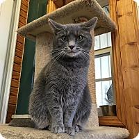 Domestic Shorthair Cat for adoption in Lexington, Kentucky - Kimberly