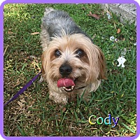 Adopt A Pet :: Cody - Hollywood, FL