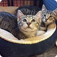 Adopt A Pet :: Jet - Devon, PA