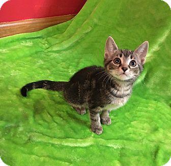 Domestic Shorthair Kitten for adoption in Columbus, Ohio - Tango