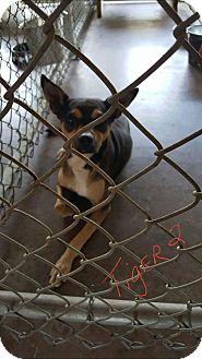 Terrier (Unknown Type, Medium) Mix Dog for adoption in Livingston Parish, Louisiana - Tiger 2