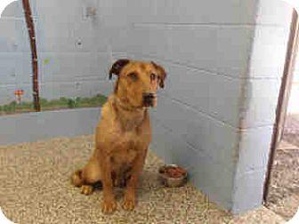 Halden Hound (Haldenstrover)/Shepherd (Unknown Type) Mix Dog for adoption in San Bernardino, California - URGENT ON 10/22 San Bernardino