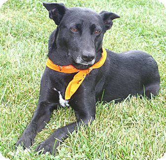 Labrador Retriever/German Shepherd Dog Mix Dog for adoption in Cuba, Missouri - Nova