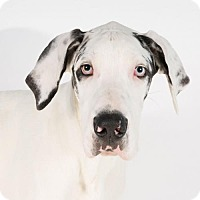Great Dane Puppy for adoption in St. Louis Park, Minnesota - Drogo