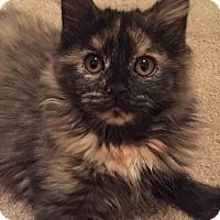 Adopt A Pet :: Tequila - Gaithersburg, MD