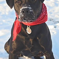Labrador Retriever/American Pit Bull Terrier Mix Dog for adoption in Saranac Lake, New York - Quin