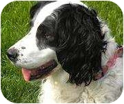 English Springer Spaniel Dog for adoption in Minneapolis, Minnesota - Maizy (NE)