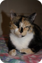 Calico Cat for adoption in Acushnet, Massachusetts - Ashley