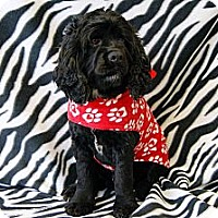 Adopt A Pet :: JoJo Cocker - Princeton, KY