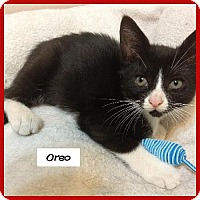 Adopt A Pet :: Oreo - Miami, FL