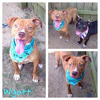 American Bulldog/Labrador Retriever Mix Dog for adoption in Darlington, South Carolina - Wyatt