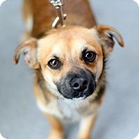 Adopt A Pet :: Roger Da Dodger - Woodland, CA