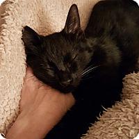 Adopt A Pet :: Kohl - Monrovia, CA