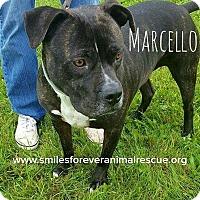 Adopt A Pet :: Marcello - Fincastle, VA