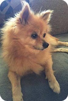 Pomeranian Dog for adoption in Lawton, Oklahoma - JOJO
