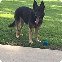 German Shepherd Dog Dog for adoption in Roswell, Georgia - Rocky (Guest)