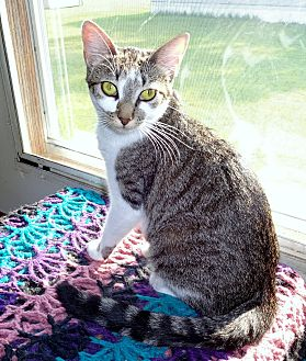 Domestic Shorthair Cat for adoption in Parkton, North Carolina - Star