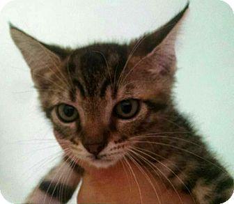 Domestic Shorthair Kitten for adoption in Savannah, Georgia - Wendell
