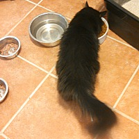 Domestic Longhair Cat for adoption in Scottsdale, Arizona - Sasha