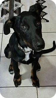 Doberman Pinscher Mix Dog for adoption in Buffalo, Wyoming - Diamond