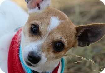 Chihuahua/Terrier (Unknown Type, Small) Mix Dog for adoption in Colorado Springs, Colorado - Jewel
