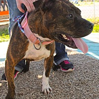 Bulldog/Pit Bull Terrier Mix Dog for adoption in Odessa, Texas - Venus