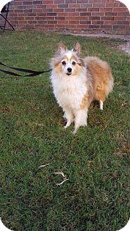 Sheltie, Shetland Sheepdog Mix Dog for adoption in Verona, New Jersey - Maxey