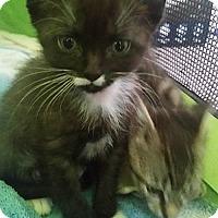 Adopt A Pet :: Felix Moustachio - Hudson, NY