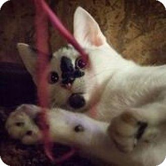 Domestic Shorthair Cat for adoption in Anchorage, Alaska - Aspen