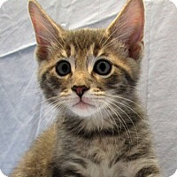 Domestic Shorthair Cat for adoption in Fayetteville, Tennessee - 16-c07-003 Palmer